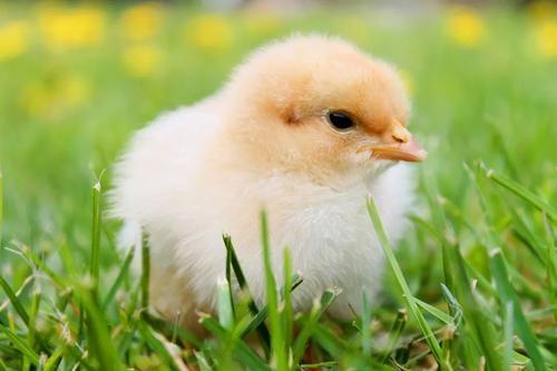 第二份家禽疫苗开发许可协议